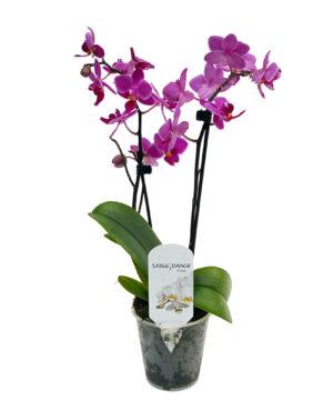 Mini Phalaenopsis în ghiveci